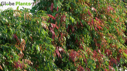 Syzygium 'Cascade' - Lilly Pilly | Hedge