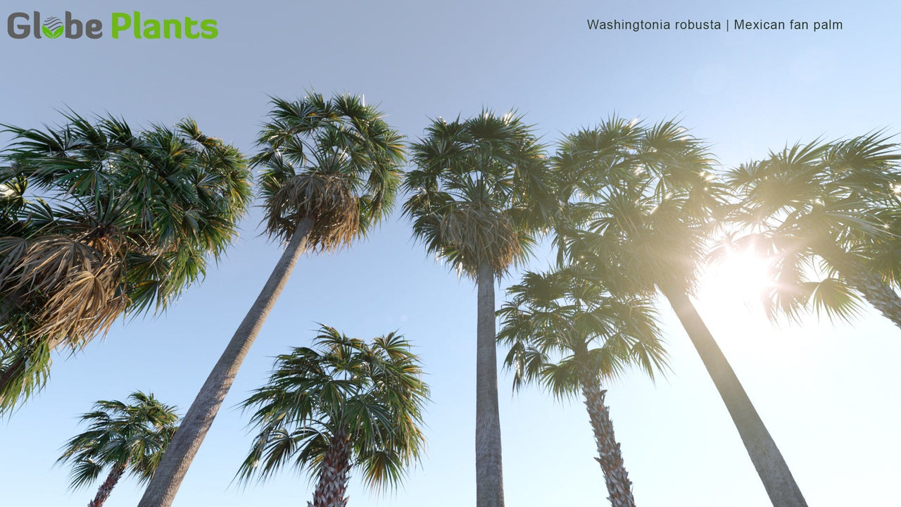 Washingtonia Robusta - Mexican Fan Palm