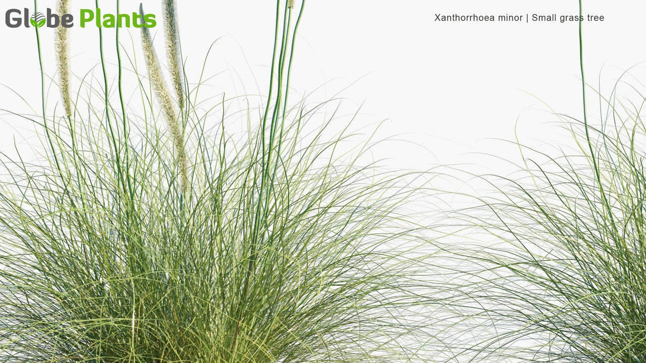Xanthorrhoea Minor - Small Grass Tree