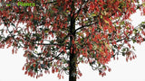 Load image into Gallery viewer, Brachychiton Acerifolius - Illawarra Flame Tree Globe Plants