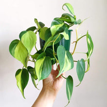 Load image into Gallery viewer, Philodendron - Brazil
