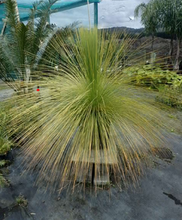 Load image into Gallery viewer, Australian Grass Tree
