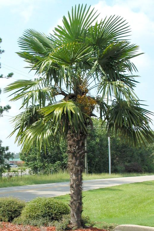 Chinese Windmill Palm