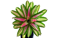 Load image into Gallery viewer, Bromeliads - Neoregelia (Hybrids)