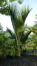 Load image into Gallery viewer, Nikau Palm (Native)