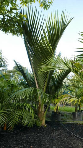 Nikau Palm (Native)