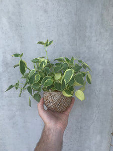 Kokedama - Medium