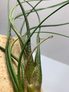 Air Plant (Tillandsia)