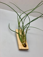Load image into Gallery viewer, Air Plant (Tillandsia)