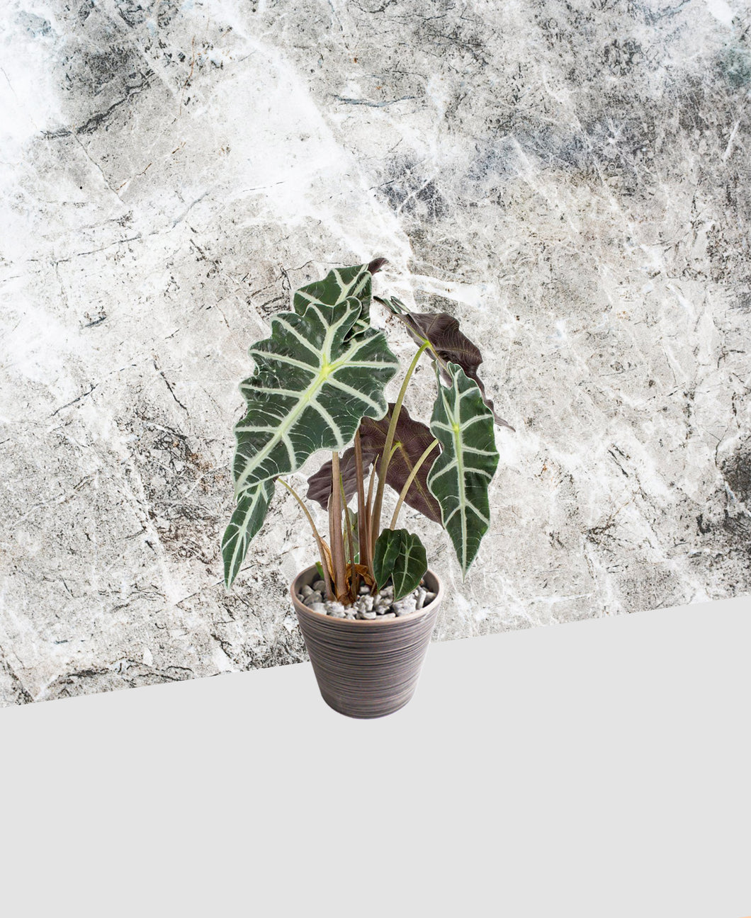 Alocasia - Polly