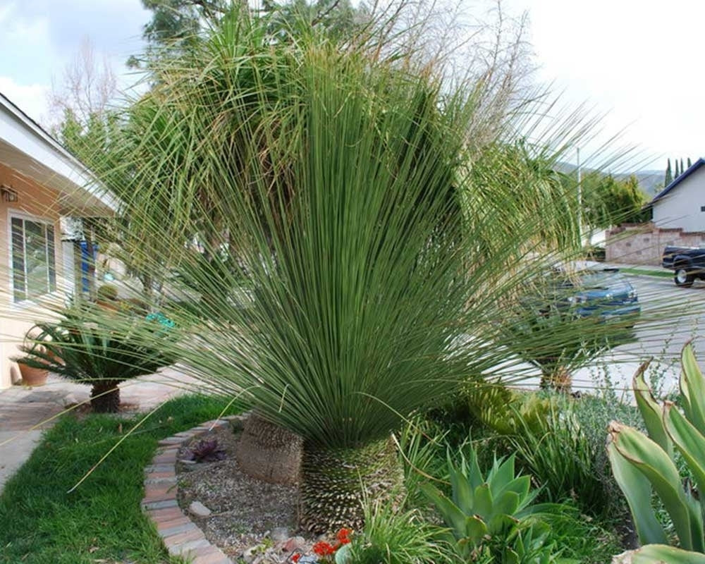 Mexican Grass Tree