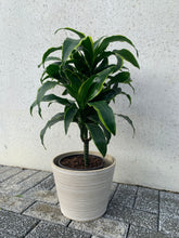 Load image into Gallery viewer, Dracaena Dorado