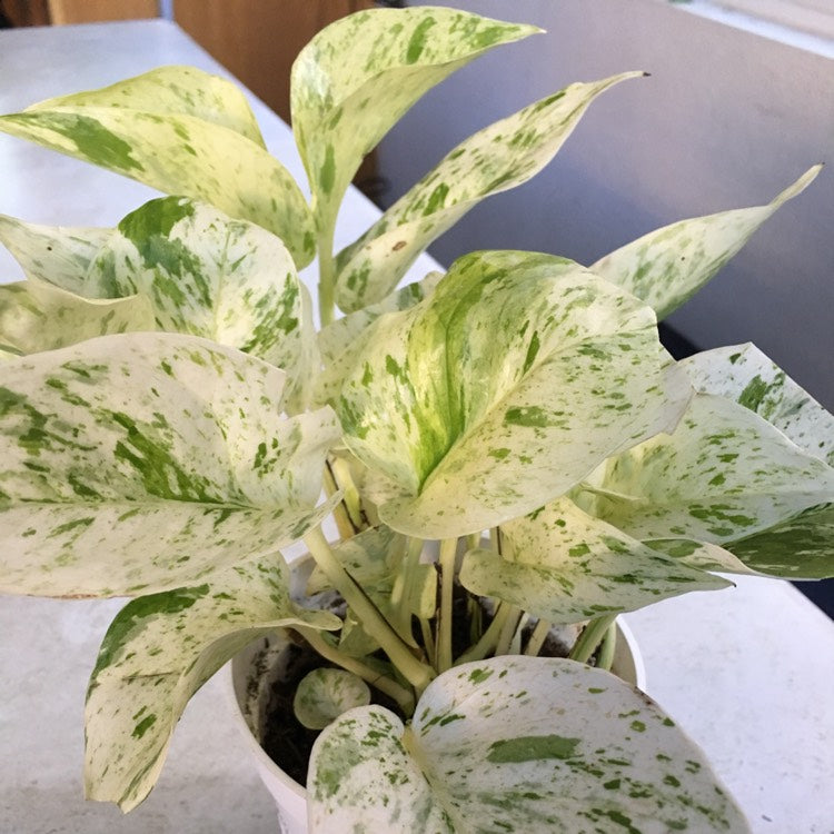 Pothos - Snow Queen