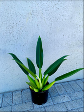 Load image into Gallery viewer, Philodendron - Fat Boy