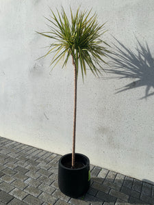 Tri-Colour Dracaena (Gold)