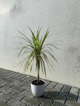 Load image into Gallery viewer, Tri-Colour Dracaena (Gold)