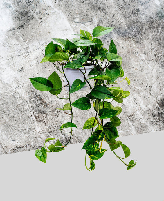 Pothos - Golden