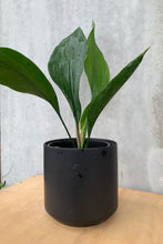 Load image into Gallery viewer, Cast Iron - Aspidistra elatior