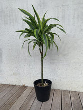 Load image into Gallery viewer, Dracaena - Lemon & Lime