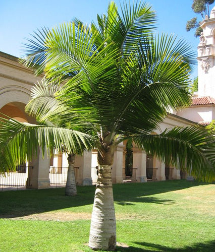 Majestic Palm