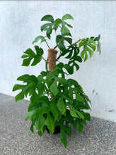 Load image into Gallery viewer, Philodendron- Minima