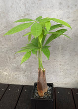 Load image into Gallery viewer, Money Tree Plant - Guiana Chestnut