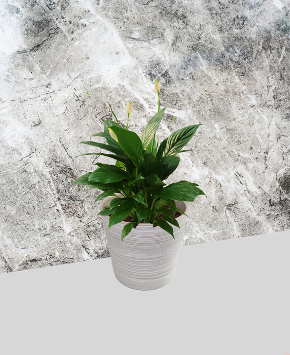 Peace Lily - Domino (Variegated)