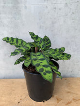 Load image into Gallery viewer, Calathea - Rattlesnake