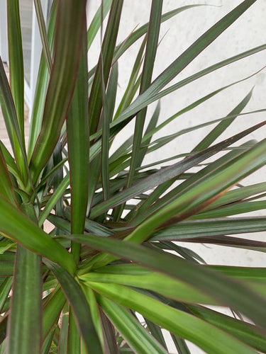 Dracaena - Red Edged