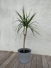 Load image into Gallery viewer, Dracaena - Red Edged