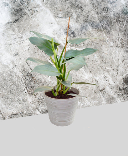 Philodendron - Silver Sword