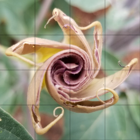 Datura photo with grid