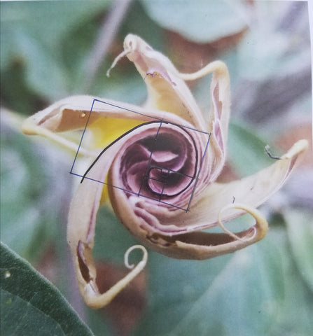 Datura analyis, does it contain a golden spiral?
