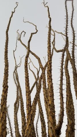 Was this plant designed by Dr. Seus? Ocotillo