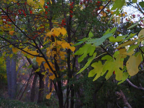 Autumn leaves in luscious shapes and colors, Liquiterra