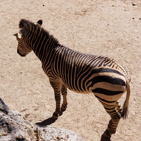symmetrical pattern of a zebra's stripes