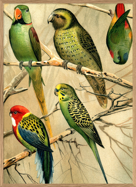 Parrots. Right side. No. 2900R