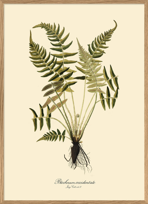 Blechnum Occidentale