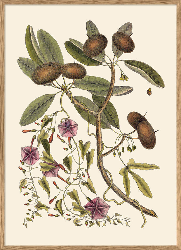Annona And Convolvulus