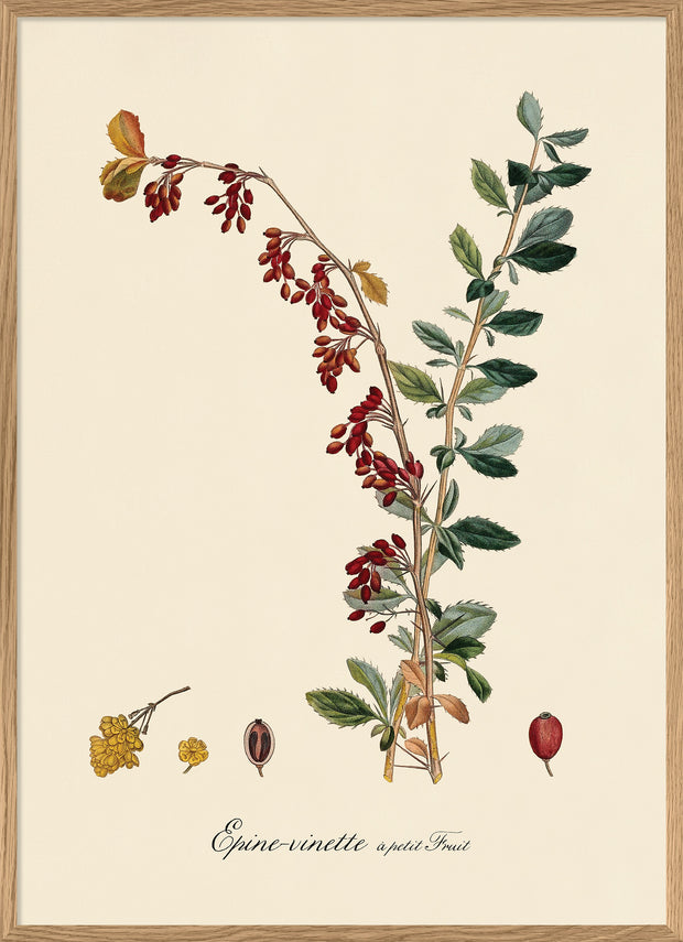 Barberry Branch