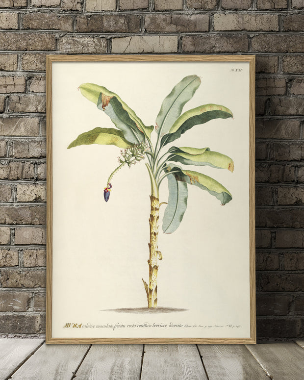 musa-plant-poster