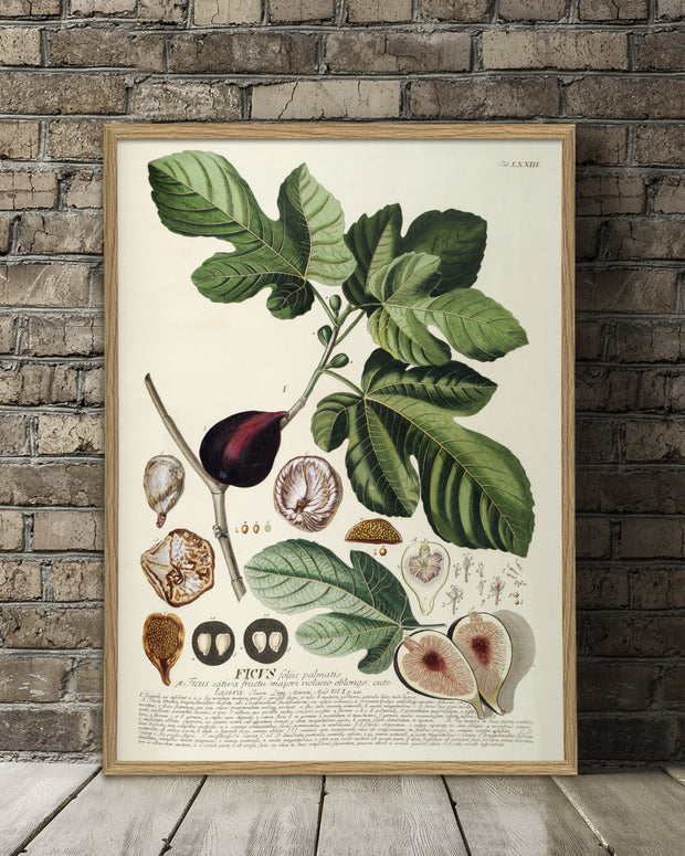 ficus-plant-poster