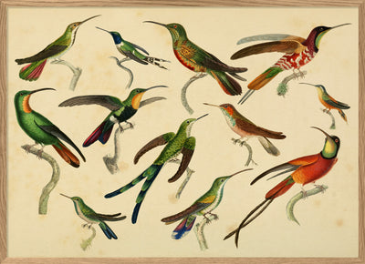 Hummingbirds. Print #3802H