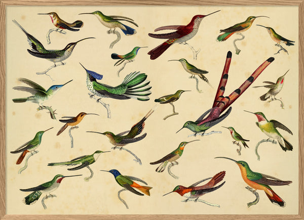 Hummingbirds. Print #3805H