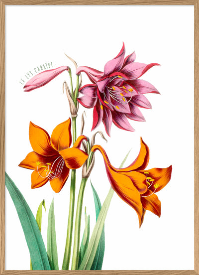 Pink And Orange Lilies