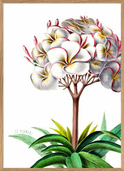 White And Pink Plumeria Flower