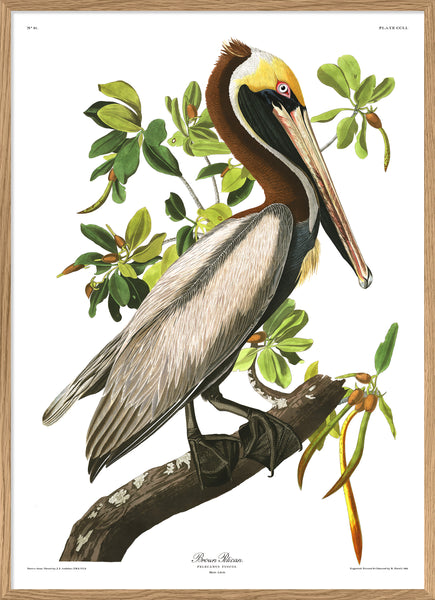 Brown Pelican. Print #6508
