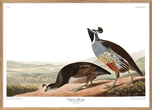 Californian Partridge. Print #6515