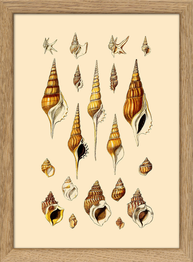 Sea Shells. Print #RC047