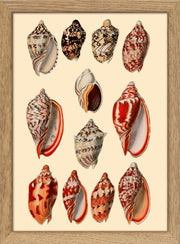 Sea Shells. Print #RC054